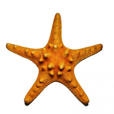 "5""-6"" Sunset Orange Knobby Horned Sea Star Vase Fillers"