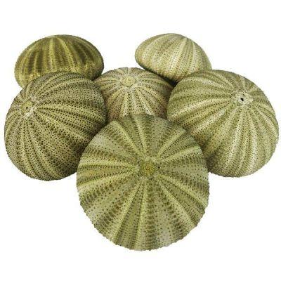 "1.25""-2"" Multi-Color Natural Sea Urchin Shells Bowl Vase Fillers"