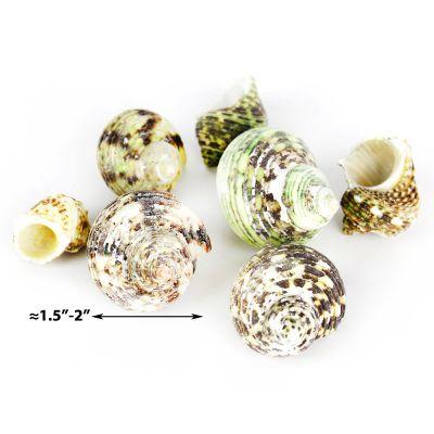 """1.5""""-2"""" Green Stripe Turbo Argyrostomus Bowl Vase Fillers"""