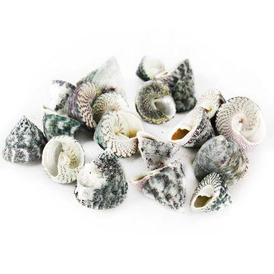"1.5""-3"" Grey Striped Trochus Stellatus Bowl Vase Fillers"
