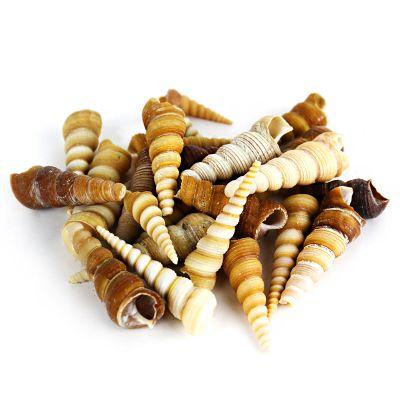 "1.5""-3"" Brown Cream Tan Terebra Turritella Cone Shell Bowl Vase Fillers"