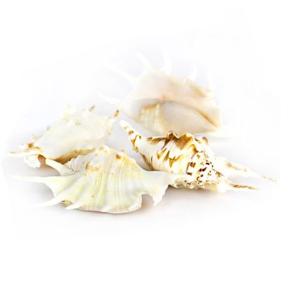 "4""-4.5"" White Lambis Spider Conch Bowl Vase Fillers"